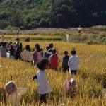 Moisson au festival du riz